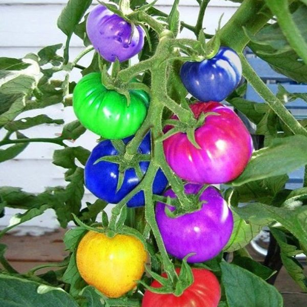different colors of tomatoes
