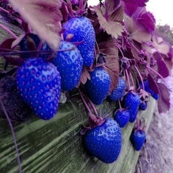 blue strawberry seeds erdbeersaison